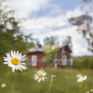 Daisy in front of red cottage