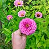 A flower bed with pink flowers by the majors or Zinnia is elegant in the garden on a summer day. Hand of a man takes a flower. Floriculture. Top view